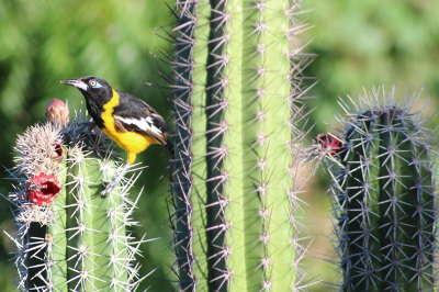 Vogel, Kaktus